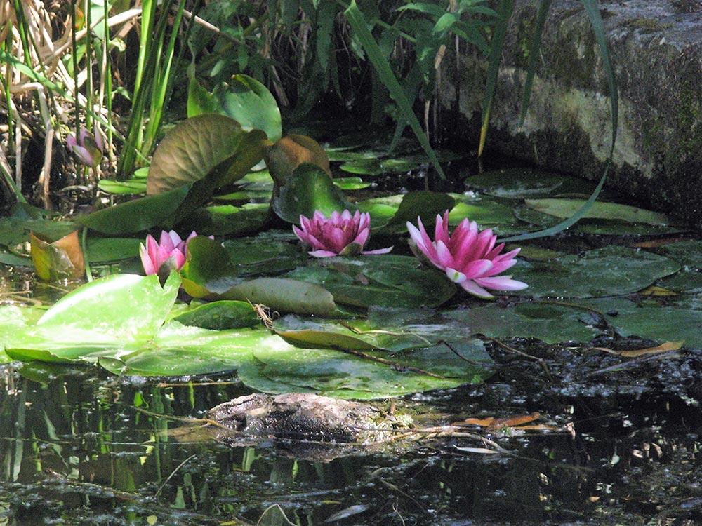 lotus marais poitevin près du camping les Ramiers